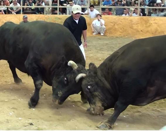 春の全島闘牛大会が始まります ...
